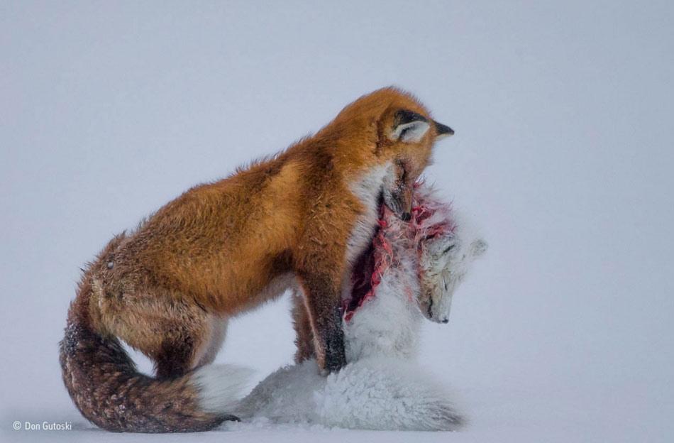 A-Tale-of-Two-Foxes-doorbin.info-01